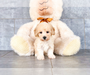 Bichon Frise-Poodle (Standard) Mix Puppy for sale in CLEVELAND, NC, USA