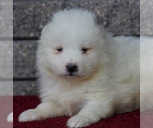 Samoyed Puppy for sale in STANLEY, WI, USA