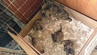 Belgian Malinois Puppy for sale in LITHONIA, GA, USA