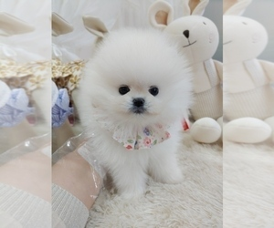 Pomeranian Dog for Adoption in Seoul, Seoul Korea, South