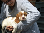 Brittany Puppy For Sale in MARION, VA,