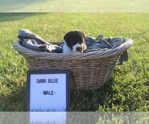 Great Pyredane Puppy for Sale in UNDERWOOD, Indiana USA