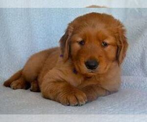 Golden Retriever Dog for Adoption in GRAND RAPIDS, Michigan USA