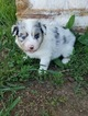 Australian Shepherd Puppy For Sale in ELIZABETH, CO, USA