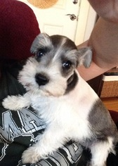 Schnauzer (Miniature) Puppy For Sale in TURLOCK, CA