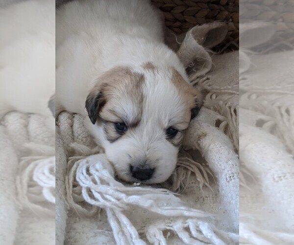 Medium Photo #93 Great Pyrenees Puppy For Sale in FALCON, CO, USA