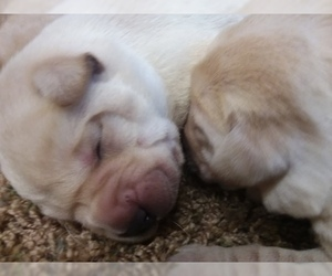 Labrador Retriever Puppy for Sale in BURIEN, Washington USA
