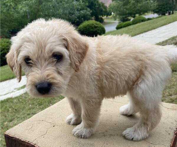 Medium Photo #5 Labradoodle Puppy For Sale in CHELSEA, AL, USA