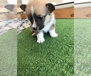 Pembroke Welsh Corgi Puppy for sale in TULARE, CA, USA