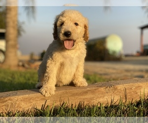 Goldendoodle-Poodle (Standard) Mix Puppy for sale in HANFORD, CA, USA