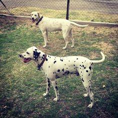 Dalmatian Puppy For Sale in BAKERSFIELD, CA