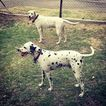 Dalmatian Puppy For Sale in BAKERSFIELD, CA