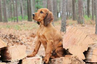 Gordon Setter-Irish Setter Mix Puppy For Sale in HARRISON, AR