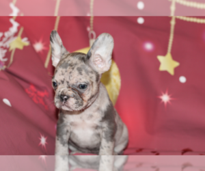 French Bulldog Puppy for sale in CHEVY CHASE, MD, USA