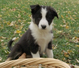 View Ad Border Collie Litter Of Puppies For Sale Near Kansas