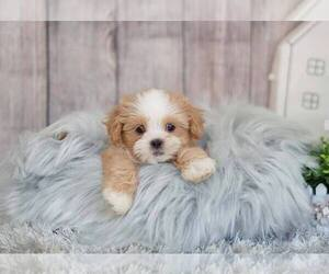 Mal-Shi-Unknown Mix Puppy for sale in FULLERTON, CA, USA