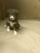 Australian Shepherd Puppy For Sale in FRANKLIN GROVE, IL, USA