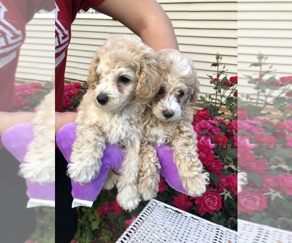 Puppyfindercom View Ad Photo 10 Of Listing Poodle Toy
