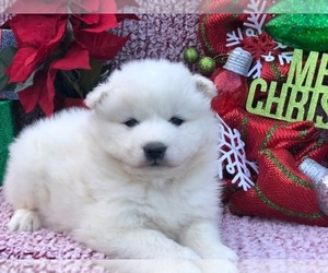 Samoyed Puppy for sale in CLAY, PA, USA