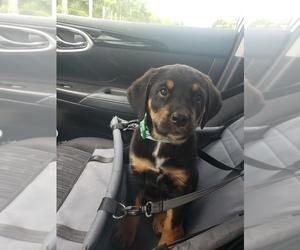 Cane Corso Puppy for sale in DANVILLE, IN, USA