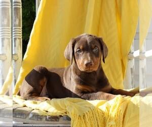 Doberman Pinscher Puppy for sale in NARVON, PA, USA