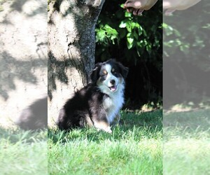 Miniature Australian Shepherd Puppy for Sale in MOUNT VERNON, Washington USA