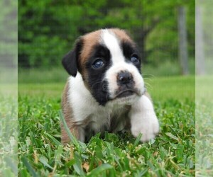 Boxer Puppy for sale in MANHEIM, PA, USA