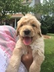 Goldendoodle Puppy For Sale in CLARKSVILLE, TN, USA