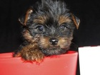 Yorkshire Terrier Puppy For Sale in AMITY, AR, USA