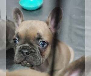 French Bulldog Puppy for Sale in TOOELE, Utah USA