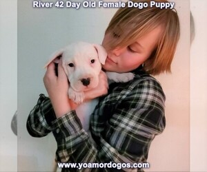 Dogo Argentino Puppy for Sale in JANE, Missouri USA
