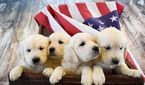 Golden Retriever Puppy For Sale in GRAND JUNCTION, CO, USA