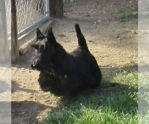 Medium Photo #3 Scottish Terrier Puppy For Sale in WHITEWOOD, SD, USA