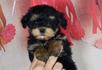 Maltese-Poodle (Toy) Mix Puppy For Sale in WARSAW, IN, USA