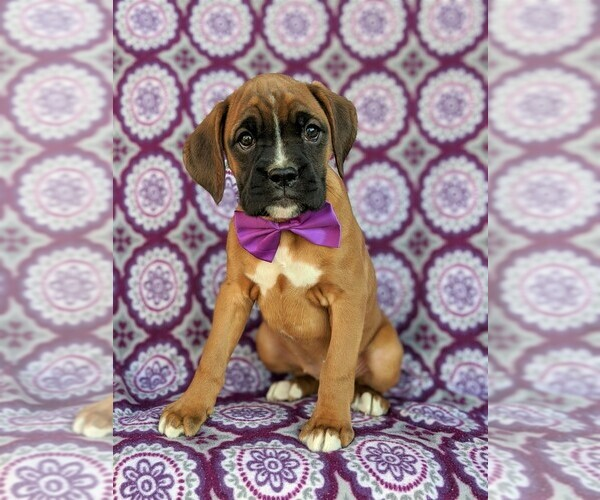 View Ad: Boxer Puppy for Sale near Hungary