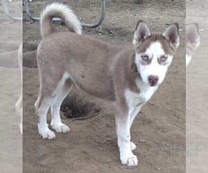 Siberian Husky Puppy for sale in OWENSBORO, KY, USA