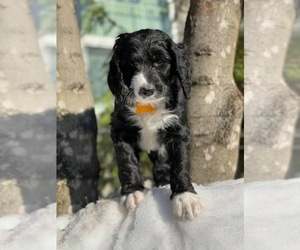 Bernedoodle Puppy for Sale in ANCHORAGE, Alaska USA