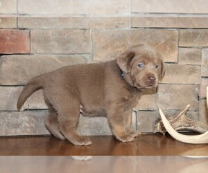 Labrador Retriever Puppy for sale in MARSHFIELD, MO, USA