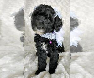 Sheepadoodle Puppy for sale in RIALTO, CA, USA