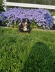 Bernese Mountain Dog Puppy For Sale in HARTLY, DE, USA