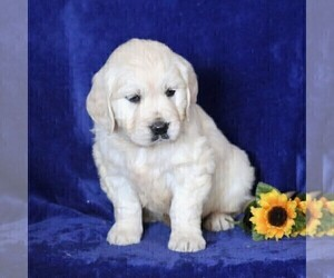English Cream Golden Retriever Dog for Adoption in MYERSTOWN, Pennsylvania USA