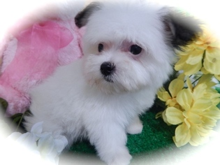 Havanese Puppy For Sale in HAMMOND, IN