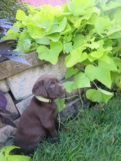 Litter of cute ACA registered Lab puppies for sale