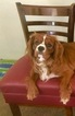 Cavalier King Charles Spaniel Puppy For Sale in SAN DIEGO, CA,