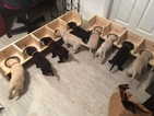Labrador Retriever Puppy For Sale in PUEBLO, CO,