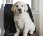 Small #2 English Cream Golden Retriever
