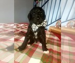 Small Photo #2 Poodle (Standard) Puppy For Sale in ROGERSVILLE, AL, USA