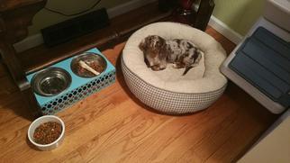 Dachshund Dog For Adoption in PERU, IL, USA