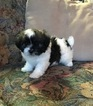 Mal-Shi Puppy For Sale in SYLVA, NC, USA