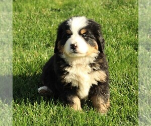 Bernese Mountain Dog Puppy for sale in EPHRATA, PA, USA